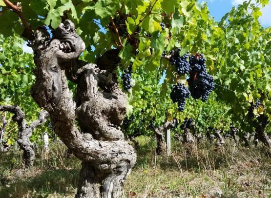 domaine-belle-etoile-vignes-cabernet-franc
