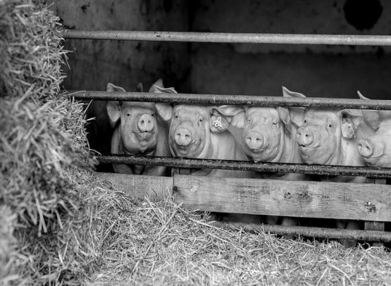 Ferme des bournaichères-cochons-betzlechateau-valdeloire
