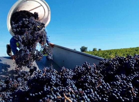Béatrice et Pascal Lambert - Grape harvest - Biodynamic Chinon wines