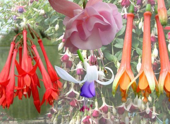 2014-fuchsia-delhommeau-laplanche-44--llustration Magazines Jardinages