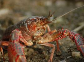 freshwater-crayfish-4494383-1920